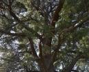 """Árbol declarado """"singular"""" por la Comunidad de Madrid"""